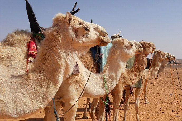 Reservar paseo en Camello por Dubái.