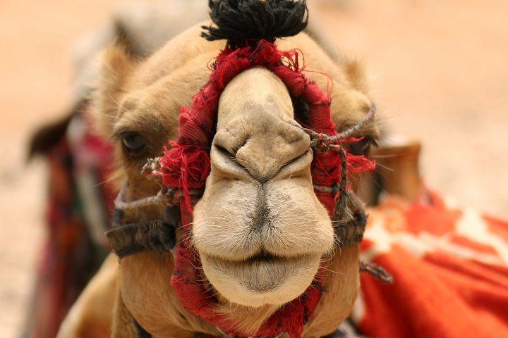 Paseo en camello. Desierto de Dubai.